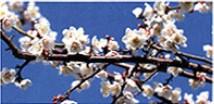 開花(2月~3月)