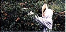 完熟南高梅収穫(6月)